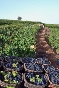 Harvest of Listan Negro and Listan Blanco, Image from Bodegas Monje