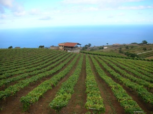 Listan Negro Vineyard, Image from Bodegas Monje