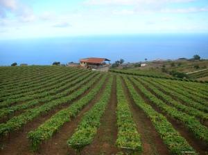 Listan Negro Vineyard, Image from Bodegas Monje