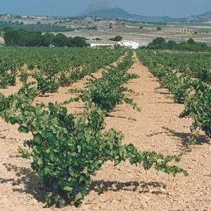 Vineyard in Jumilla, Image from Casa Castillo