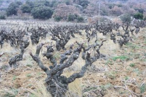 Vineyard, Image from Le Bout du Monde
