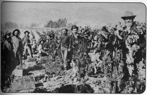 Workers gather the harvest in 1893, Image from The 11th Heublein Premiere National Auction of Rare Wines, 1979.
