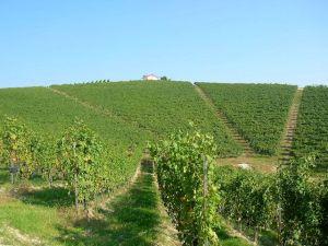 Molsino Vineyard, Image from Luigi Nervi