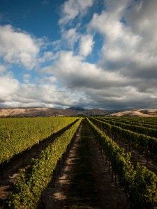 Vineyard, Image from Cloudy Bay