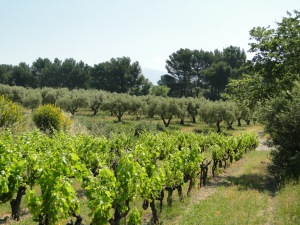 View of the Olive Trees From the Vineyard. Image from Ch. Juvenal.