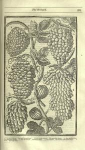 Parkinson, John. Paradisi in Sole Paradisus Terrestris. Reprinted from edition of 1629. 1904. Image from Biodiversity Heritage Library.