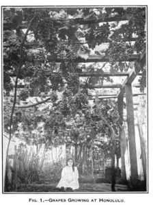 Fig. 1. - GRAPES GROWING AT HONOLULU. [15]