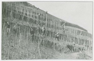 Aligning the stakes and training the vines.