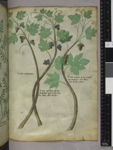Miniatures of vines with grapes. Sloane 4016. f. 101. British Library