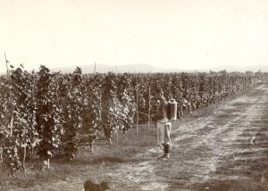 Digital copy of a photograph showing a man tending a vineyard in the Kakhat'i region. Photographer: Constantine Zanis. Date: undated. EAP057/1/5. British Library.