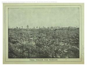 Tokay vineyard, near Fayetteville, N.C. 1883.