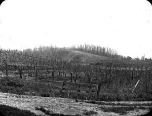 Vitis planted on a hillside [at a] Nauvoo, Illinois vineyard. [1]