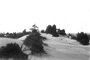 Dune remnants with grapevine smothering Pine, Miller, Indiana. [3]