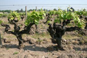 Old vines.  Image from Domaine de la Pépière.
