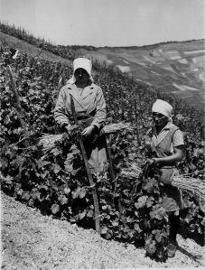 Rheinland - Arbeit im Weinberg, die Ranken werden mit Stoffahnen festgebunden. 1925/1939. [1]