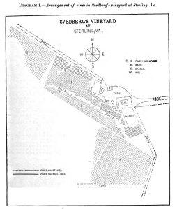 Diagram 1. - Arrangement of vines in Svedberg's vineyard at Sterling, Va. [2]