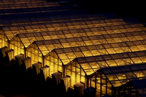 Commercial greenhouse with lighting.  Mizzou Magazine.