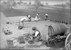 Settings vines in a vineyard. c. 1931. [1]