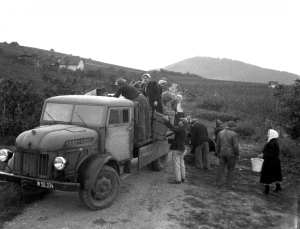 This vintage time picture shows butts of grapes being loaded onto a truck at the Nussberg vineyard. [1]