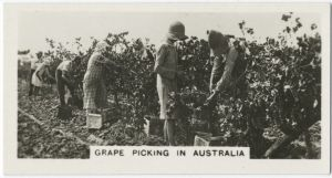 Grape picking in Australia. [1]