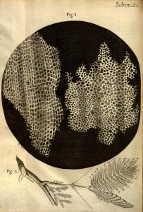 The cellular structure of cork from Robert Hooke's Micrographia. [3]