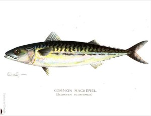 Common Mackeral from Annual Reports of the Forest, Fish and Game Commissioner of the State of New York, Issue 4. 1899.