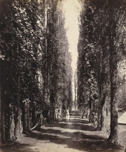 Poplar avenue with vines growing around the trunks, Srinagar. Bourne, Samuel. 1864. The British Library. [1]